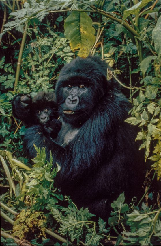 18-Gorilla9_web90