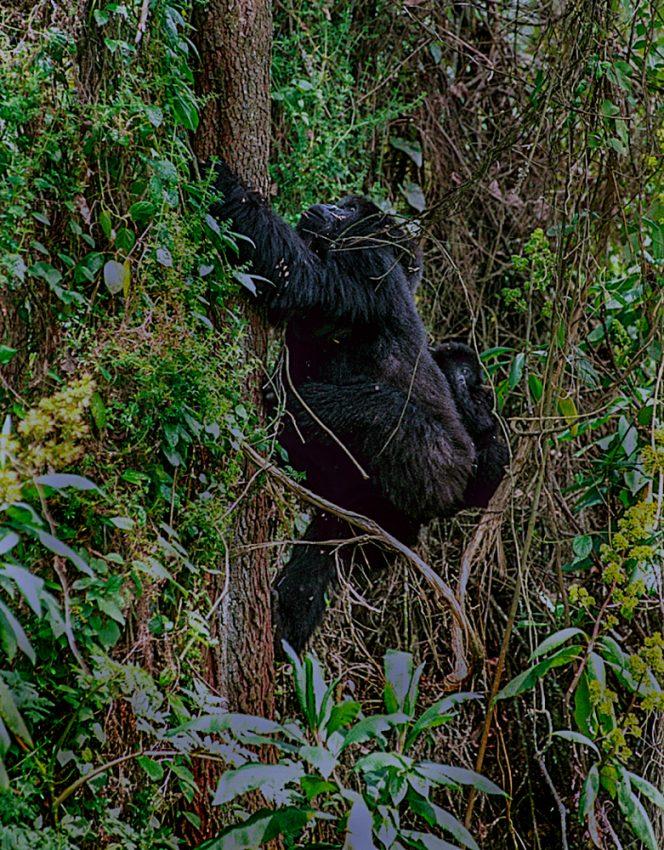 20a-GorillasMom&BabyClimbing_Vxy210209_web90